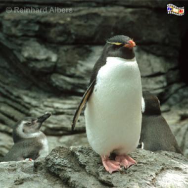 Pinguin im Aquarium (Oceanario de Lisboa) auf dem Expogelände von 1998., Lissabon, Expo, Aquarium, Oceanario, Pinguin
