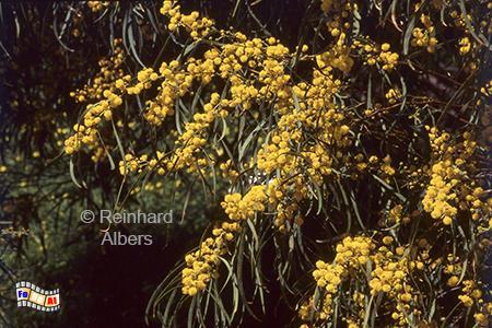 Blühende Mimosen in Sesimbra, Portugal, Sesimbra, Arrabida, Gebirge, Mimosen, Albers, Foto, foreal,