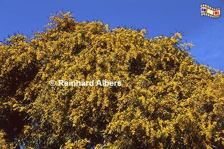 Mimosenblüte im Frühjahr, Portugal, Sesimbra, Arrabida, Gebirge, Mimosen, Albers, Foto, foreal,