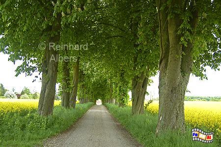 Allee zum Scheelshof im Kreis Plön, Schleswig-Holstein, Scheelshof, Allee, Albers, Foto, foreal,