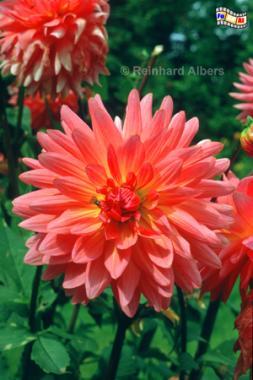 Dahlienblüte im Nolde-Garten, Nolde, Seebüll, Dahlie, Blüten, Albers, Fot, foreal,