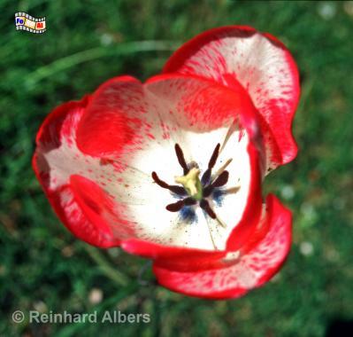 Noldegarten, Nolde, Seebüll, Tulpe, Blüten, Albers, Foto, foreal,