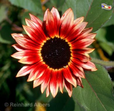 Noldegarten, Nolde, Seebüll, Sonnenblume, Blüten, Albers, Fot, foreal,