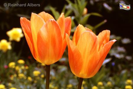 Tulpen im Noldegarten, Schleswig-Holstein, Seebüll, Nolde, Museum, Garten, Albers, Foto, foreal,