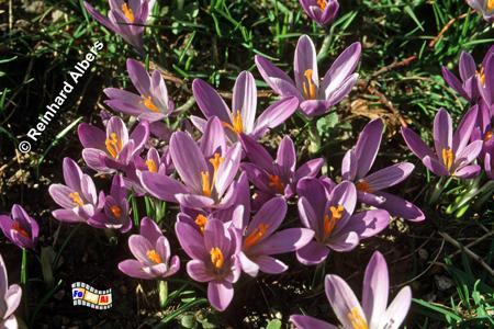 Husum Krokussblüte im Schlosspark, Husum, Krokusse, Blüte, Schlosspark, Albers, Foto, foreal,