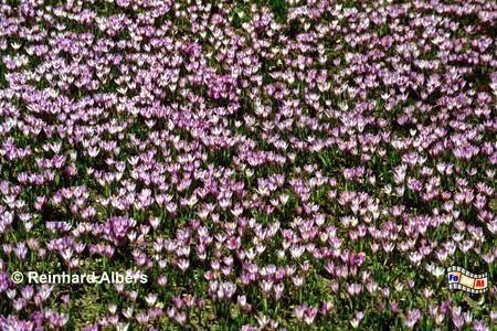 Husum Krokussblüte im Schlosspark, Schleswig-Holstein, Nordfriesland, Husum, Krokusse, Blüte, Schlosspark, Albers, Foto, foreal,