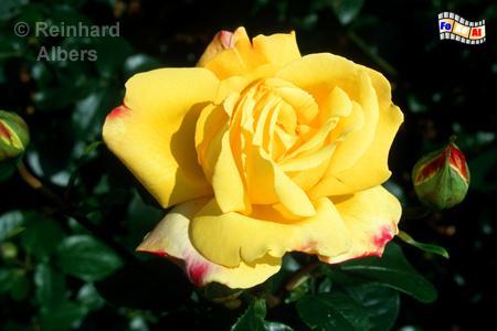 Kiel - Botanischer Garten. Rose