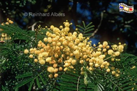 Mimosenblüte, Portugal, Alentejo, Mimose, Albers, Foto, foreal,