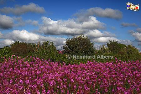 Blühende Weidenröschen bei Braderup, Sylt, Braderup, Landschaft, Weidenröschen, Albers, foreal, Foto
