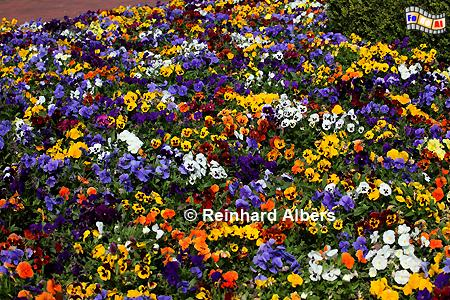 Stiefmütterchen, Blumen, Garten, Stiefmütterchen, Albers, Foto, foreal,