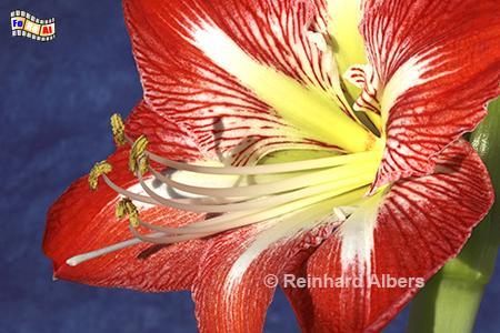Amaryllis, Blumen, Garten, Amaryllis, Albers, Foto, foreal,